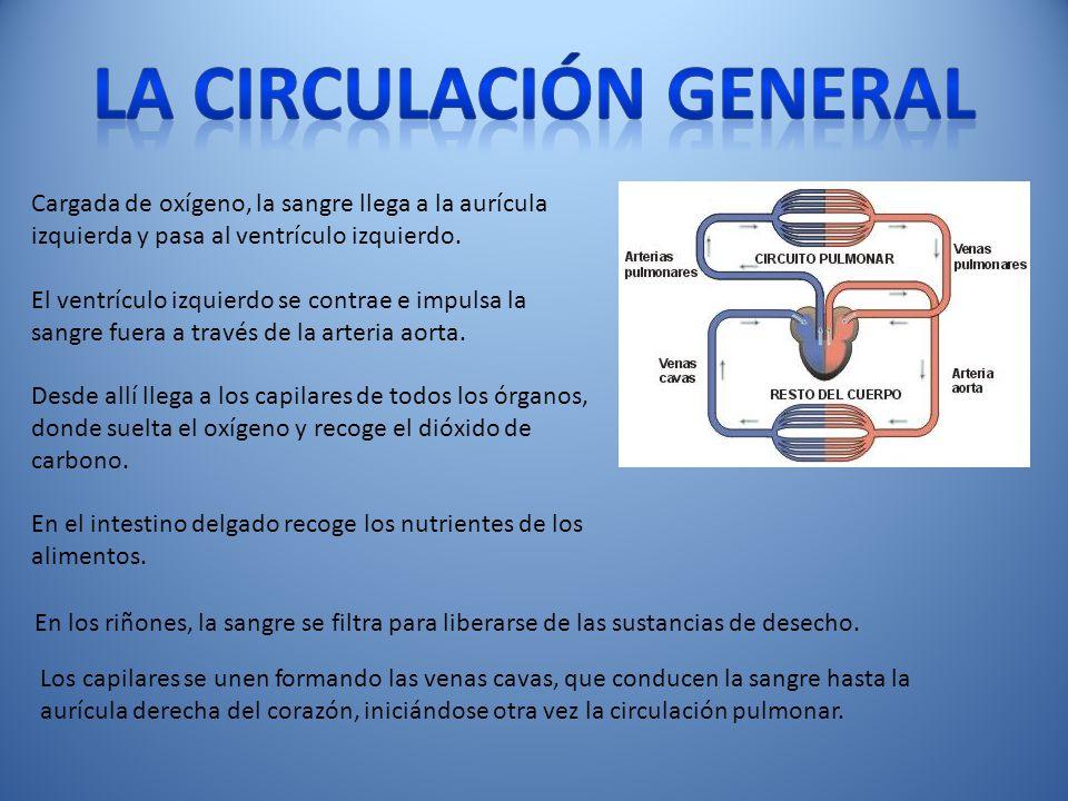 La circulación general