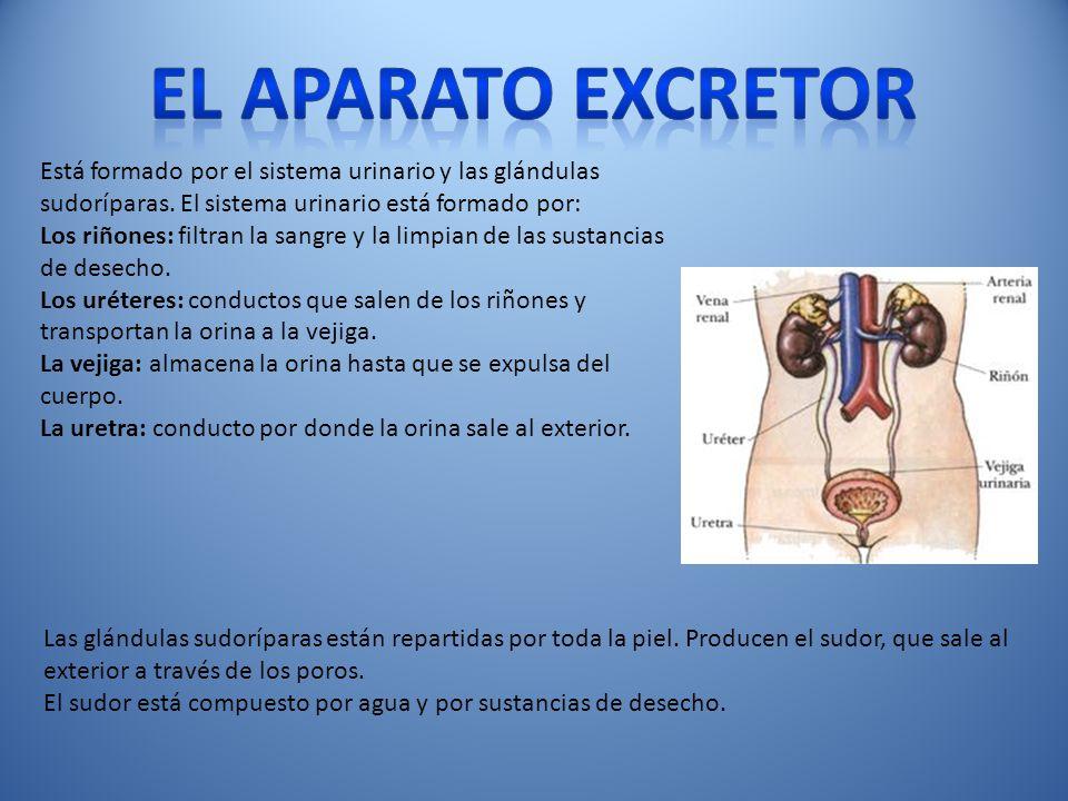El aparato excretor Está formado por el sistema urinario y las glándulas sudoríparas. El sistema urinario está formado por: