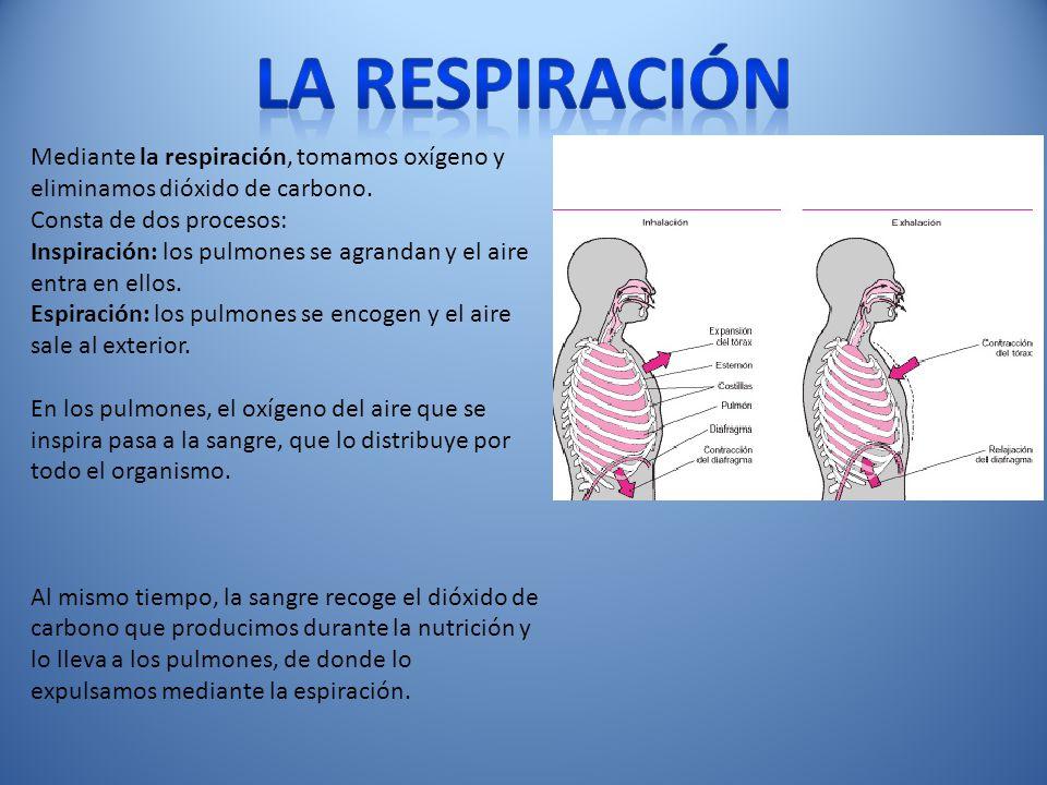 La respiración Mediante la respiración, tomamos oxígeno y eliminamos dióxido de carbono. Consta de dos procesos: