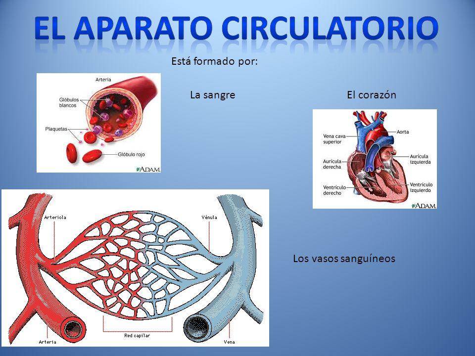 El aparato circulatorio