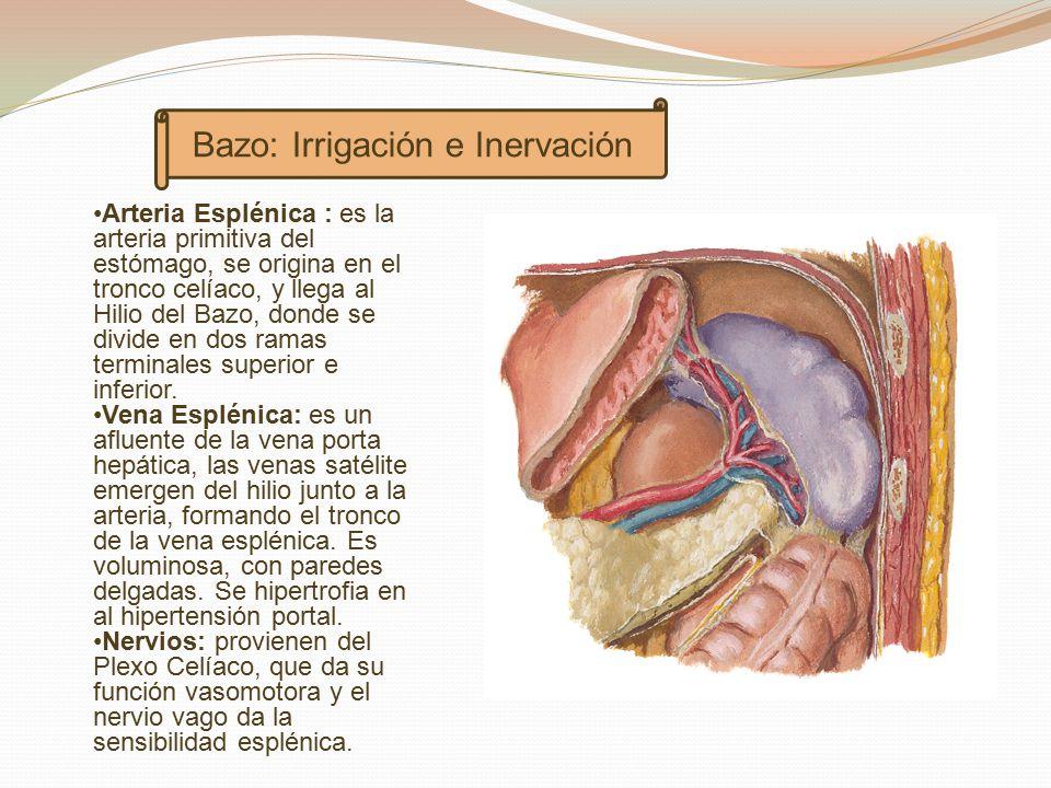 Encantador Donde Es Bazo Colección - Anatomía de Las Imágenesdel ...
