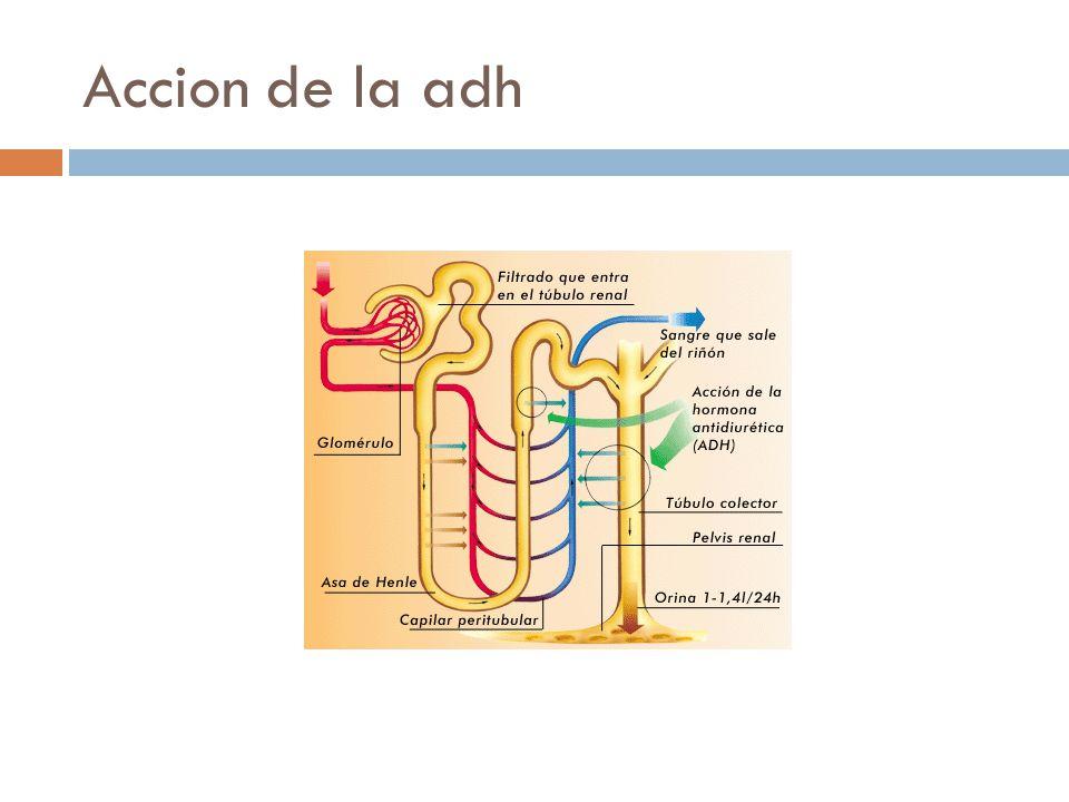 Accion de la adh