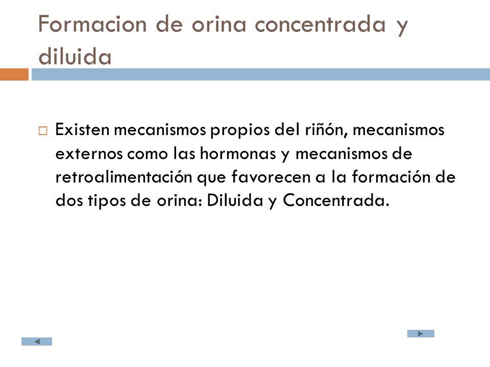 Formacion de orina concentrada y diluida