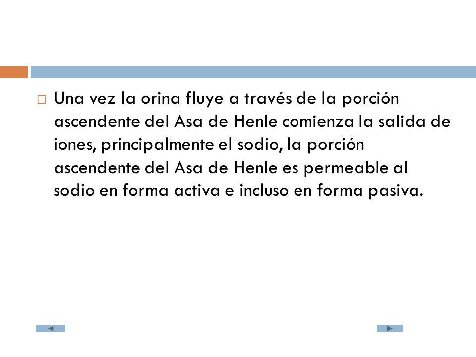 Una vez la orina fluye a través de la porción ascendente del Asa de Henle comienza la salida de iones, principalmente el sodio, la porción ascendente del Asa de Henle es permeable al sodio en forma activa e incluso en forma pasiva.