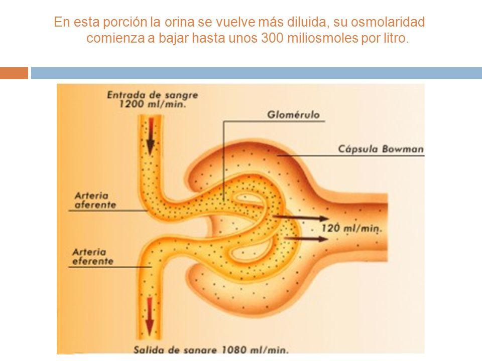 En esta porción la orina se vuelve más diluida, su osmolaridad comienza a bajar hasta unos 300 miliosmoles por litro.