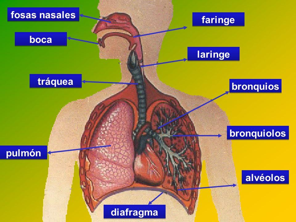 descargar molde aparato respiratorio tema 7 aparato