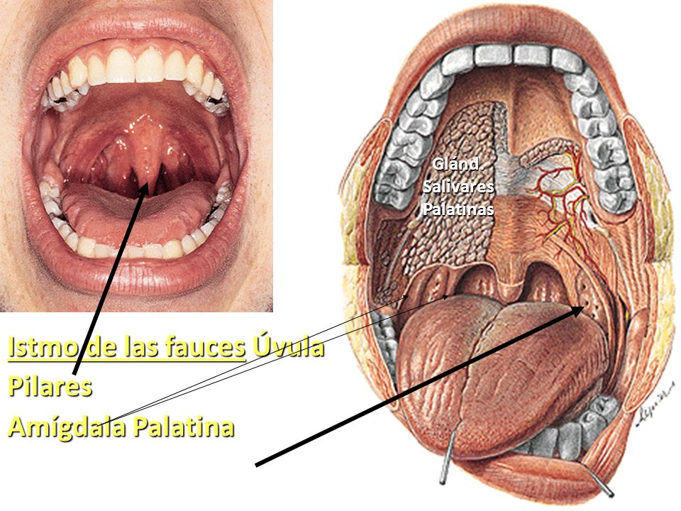 Vistoso Anatomía Amígdala Palatina Componente - Anatomía de Las ...