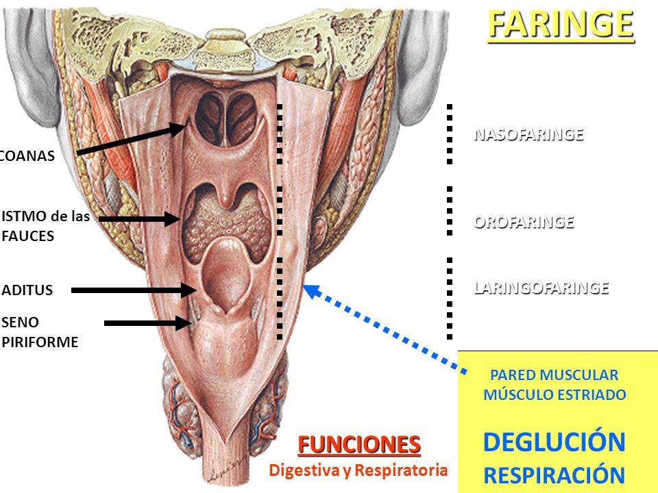 Encantador Faringe Anatomía Ppt Cresta - Anatomía de Las Imágenesdel ...