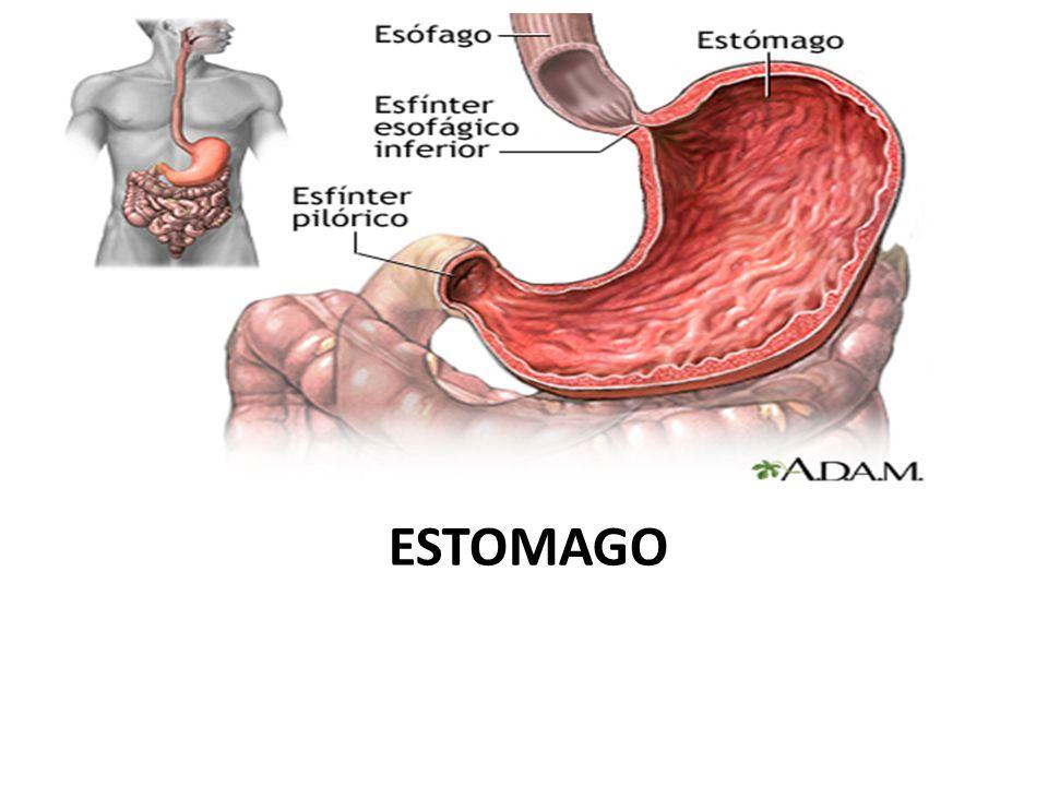 Famoso Esfínter Del Estómago Molde - Anatomía y Fisiología del ...
