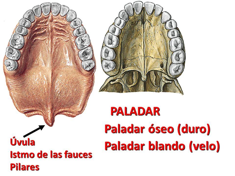 Lujo Anatomía Del Paladar Modelo - Anatomía de Las Imágenesdel ...
