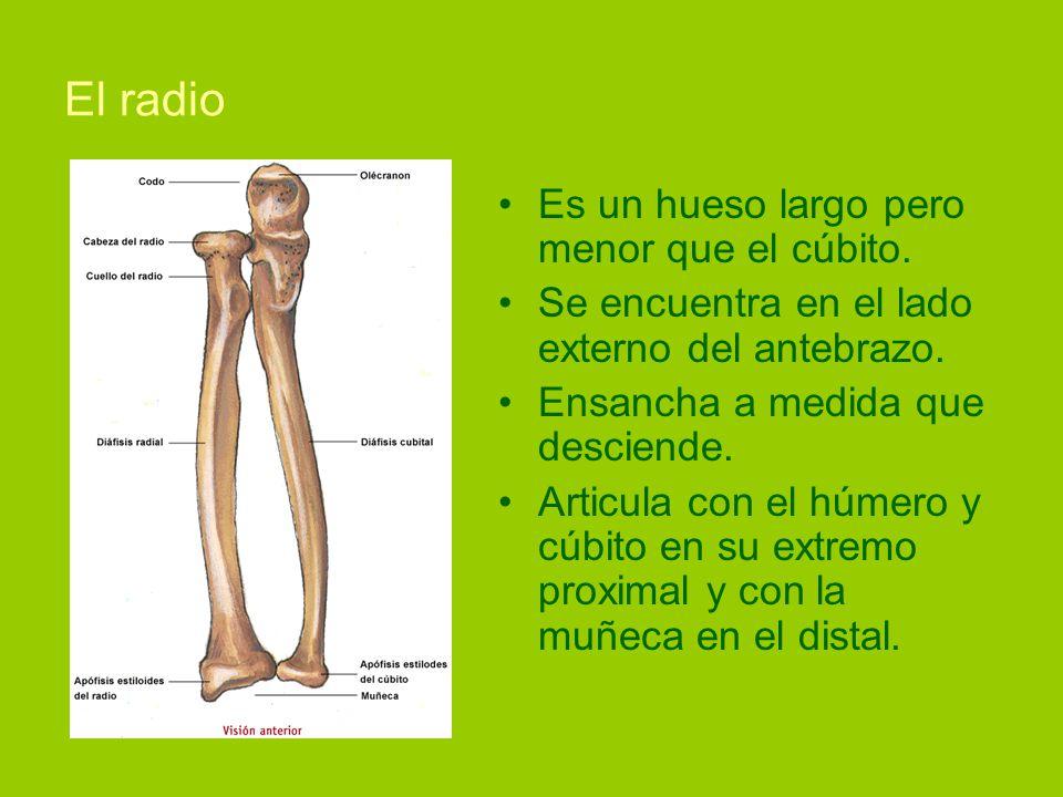 Fantástico Cúbito Humana Colección - Anatomía de Las Imágenesdel ...