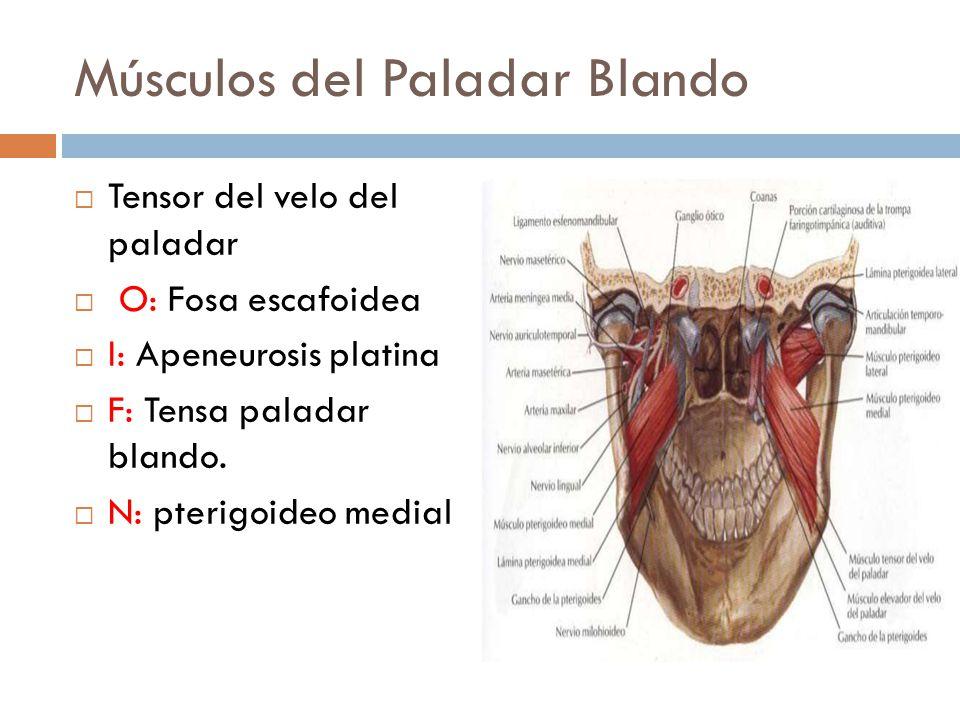 Encantador Los Músculos De La Anatomía Del Paladar Blando ...