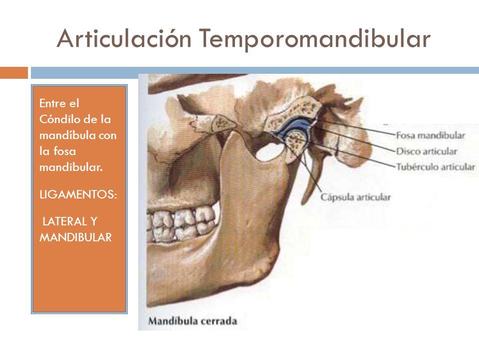 Contemporáneo Fosa Mandibular Imágenes - Anatomía de Las Imágenesdel ...