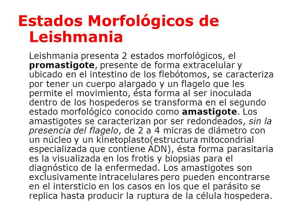 Estados Morfológicos de Leishmania