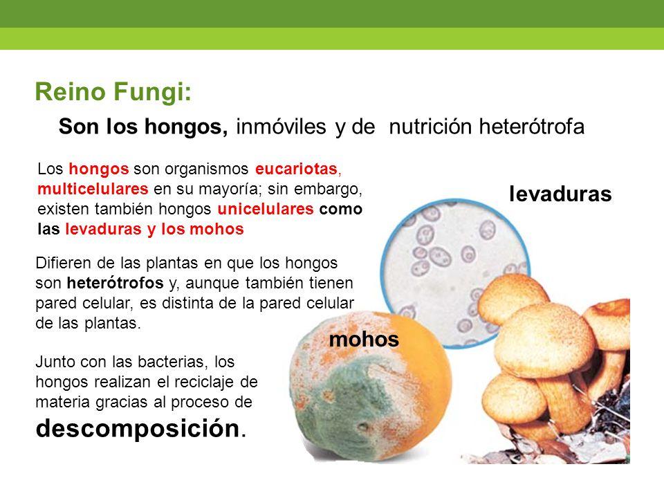 Son los hongos, inmóviles y de nutrición heterótrofa