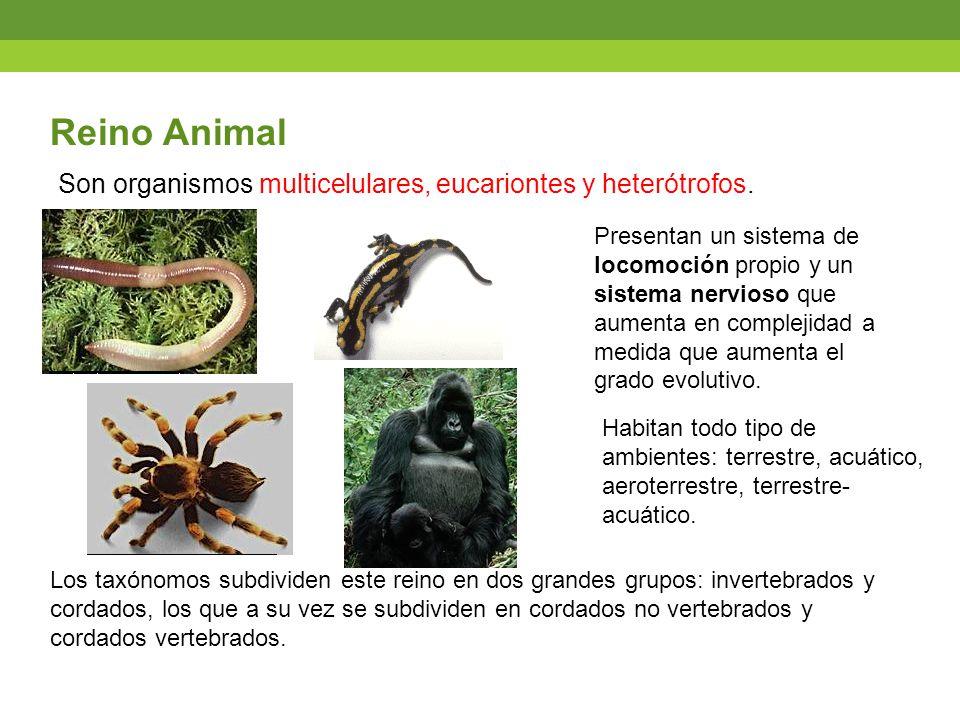 Reino Animal Son organismos multicelulares, eucariontes y heterótrofos.