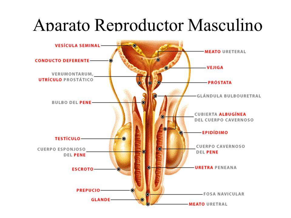 Aparato reproductor masculino - ThingLink