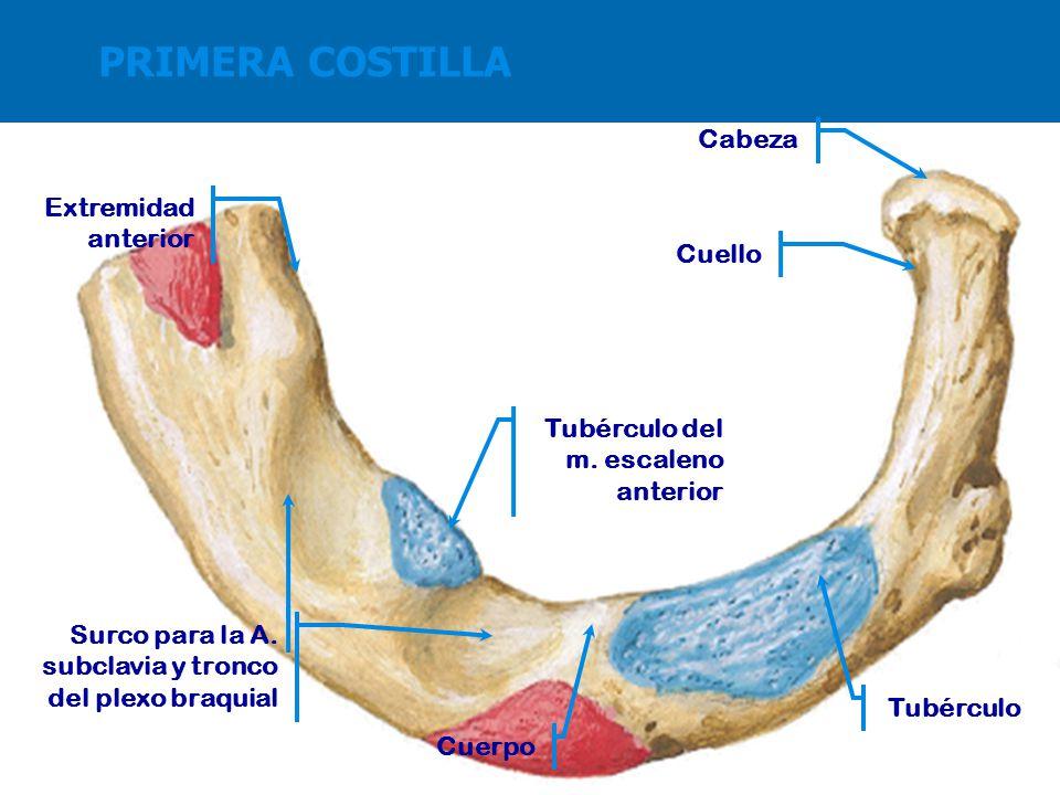 Moderno Anatomía De Primera Costilla Colección de Imágenes ...
