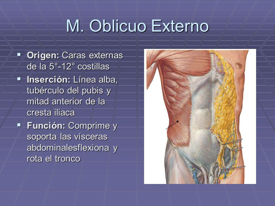 Lujoso Función Del Oblicuo Externo Regalo - Imágenes de Anatomía ...