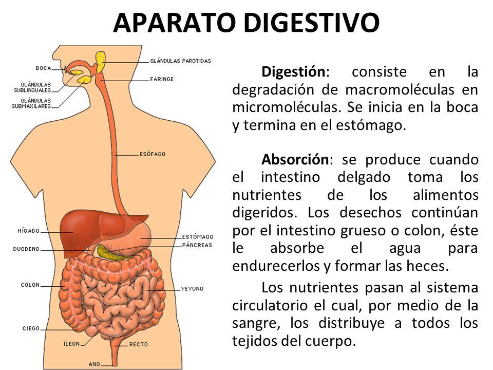 APARATO DIGESTIVO Digestión: consiste en la degradación de macromoléculas en micromoléculas. Se inicia en la boca y termina en el estómago.