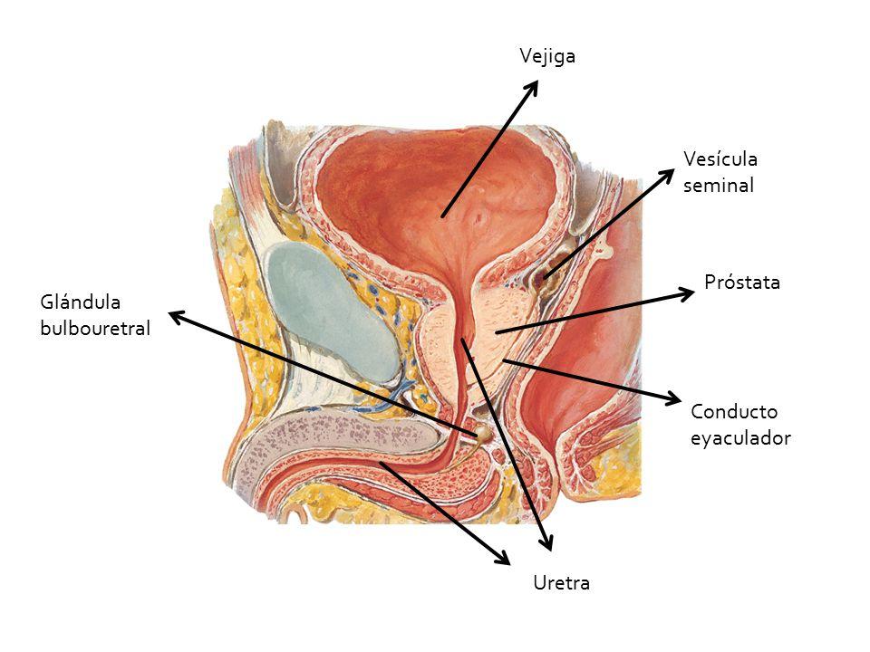 Asombroso Glándula Bulbouretral Composición - Anatomía de Las ...