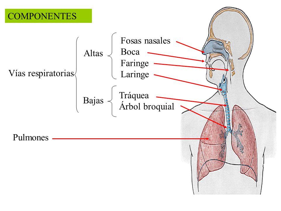 Bonito Inferior Anatomía Respiratoria Adorno - Imágenes de Anatomía ...