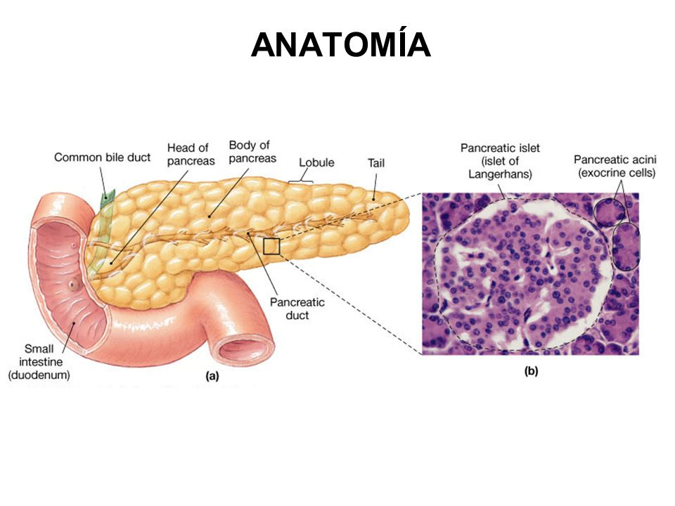 Excepcional Páncreas Anatomía Suministro De Sangre Ideas - Anatomía ...