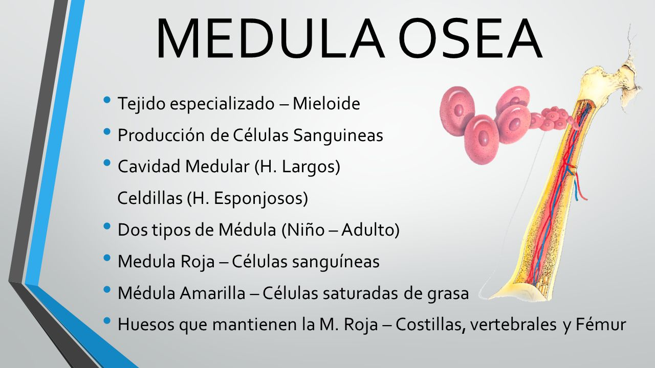 Excelente Anatomía De La Médula ósea Y La Fisiología Fotos ...