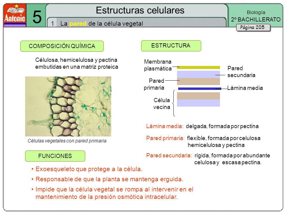 5 Estructuras Celulares 1 La Pared De La Célula Vegetal