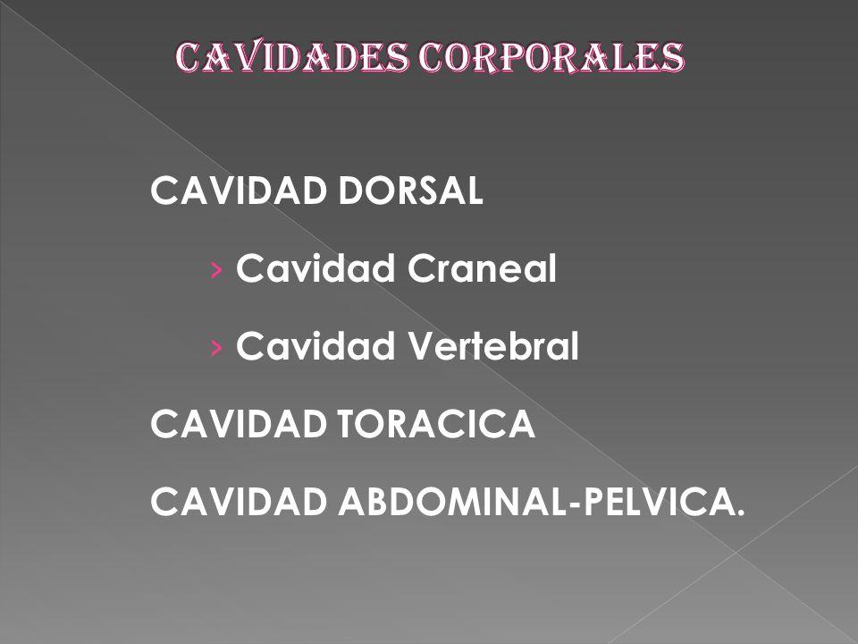 CAVIDADES CORPORALES CAVIDAD DORSAL Cavidad Craneal Cavidad Vertebral