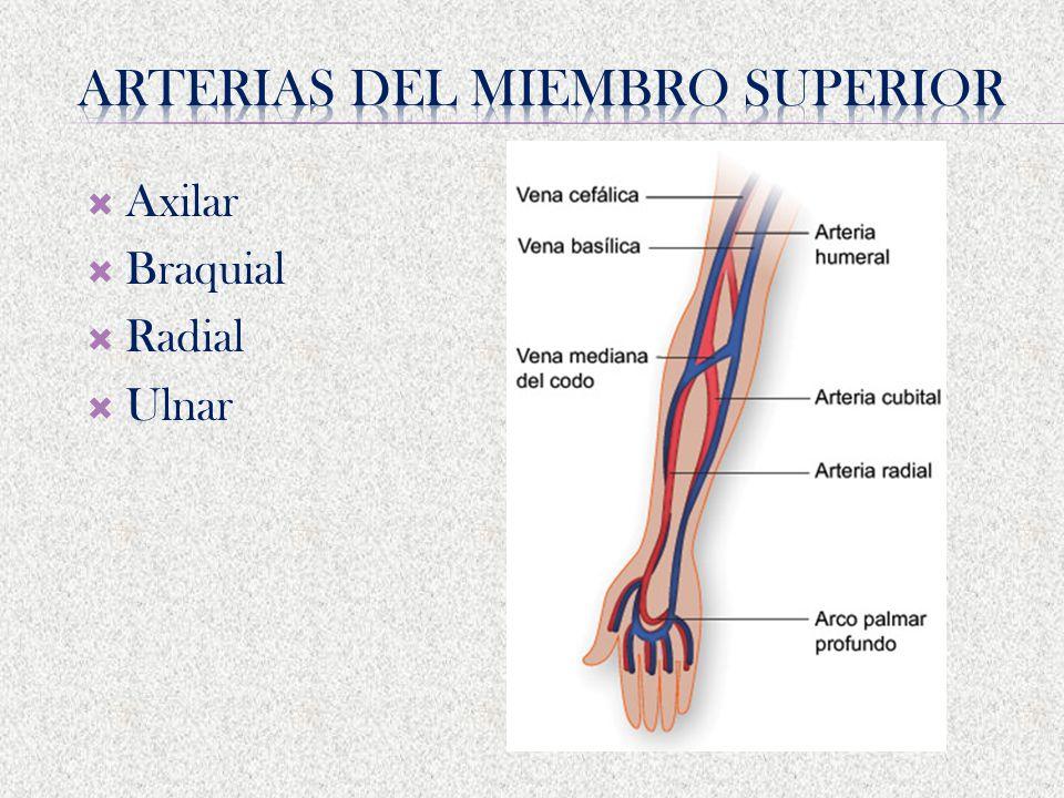 Excepcional Inferior Vena Anatomía Del Miembro Inspiración ...