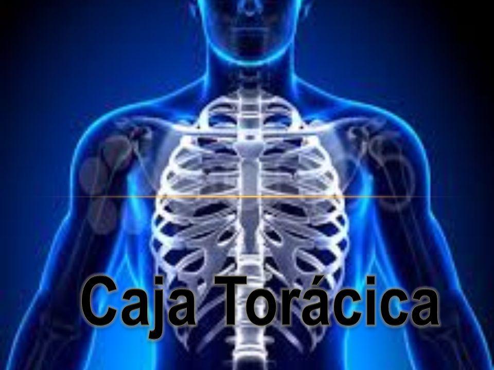 Perfecto Anatomía De La Zona De La Caja Torácica Adorno - Imágenes ...