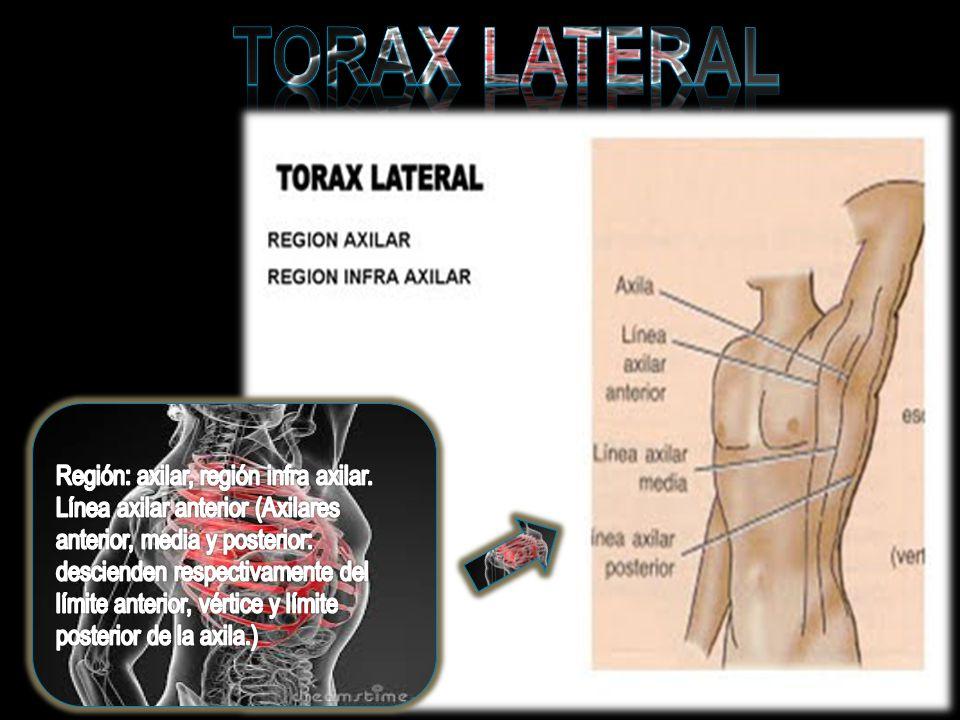 TORAX LATERAL Región: axilar, región infra axilar.