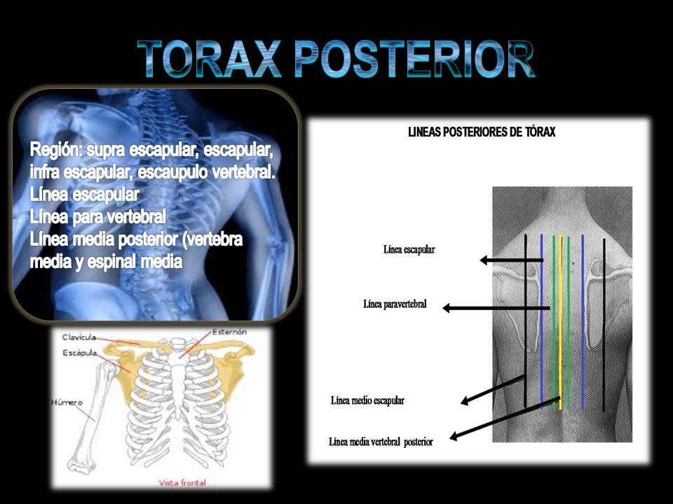 TORAX POSTERIOR Región: supra escapular, escapular, infra escapular, escaupulo vertebral. Línea escapular.