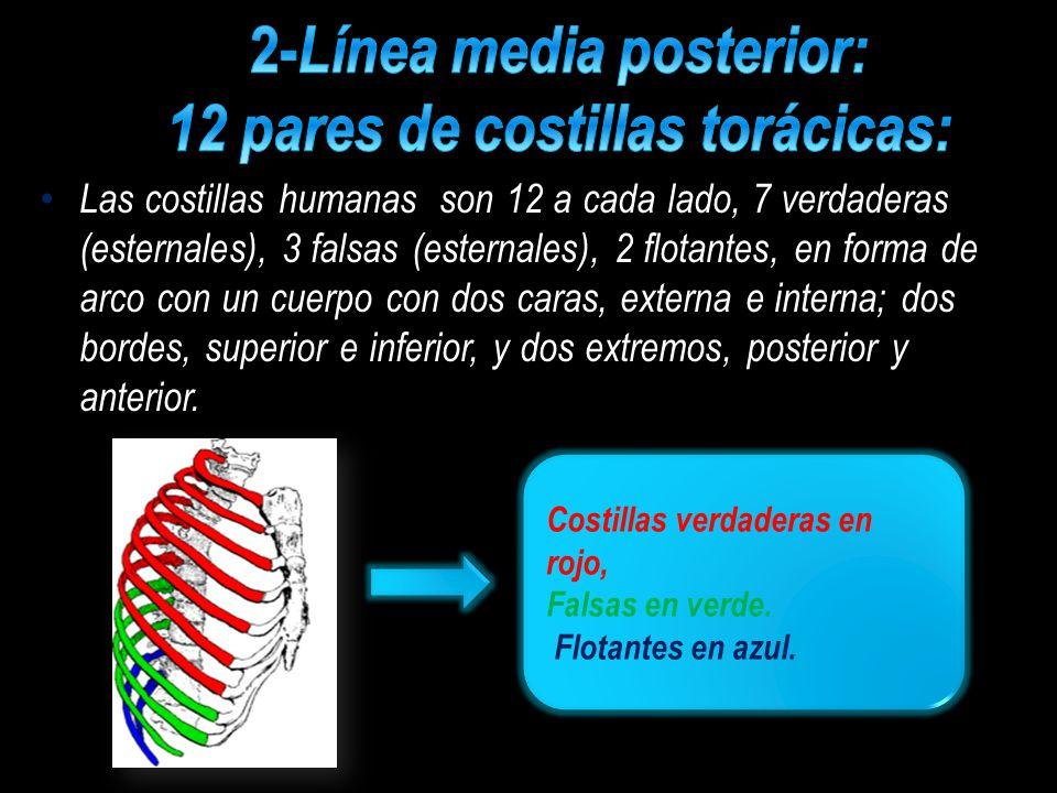 2-Línea media posterior: 12 pares de costillas torácicas: