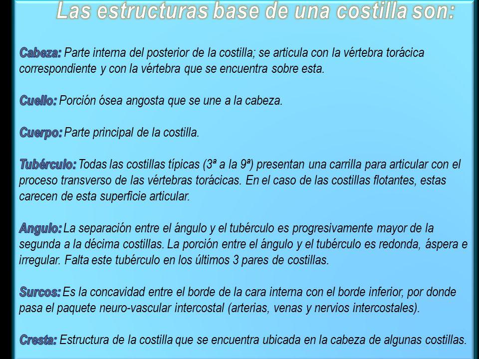 Las estructuras base de una costilla son: