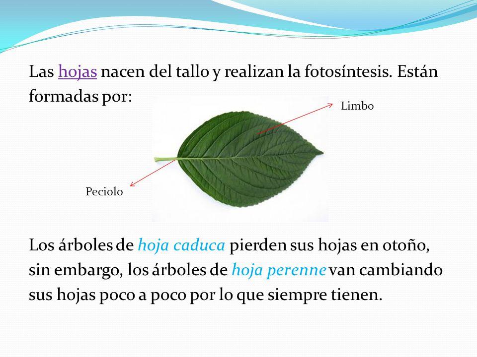 Tema 5 las plantas ppt descargar for Arboles que no pierden sus hojas en otono