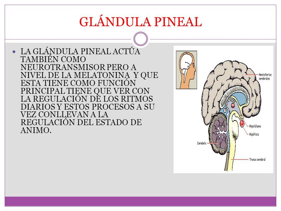 Moderno La Función De La Glándula Pineal Embellecimiento - Anatomía ...