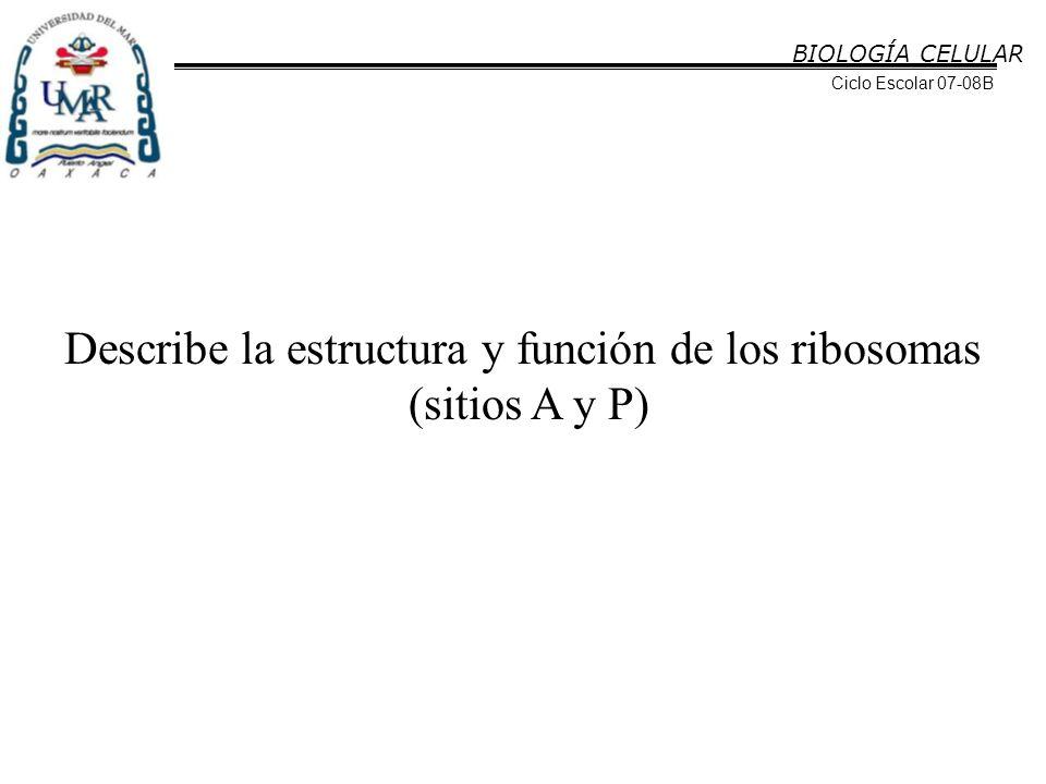 Describe la estructura y función de los ribosomas
