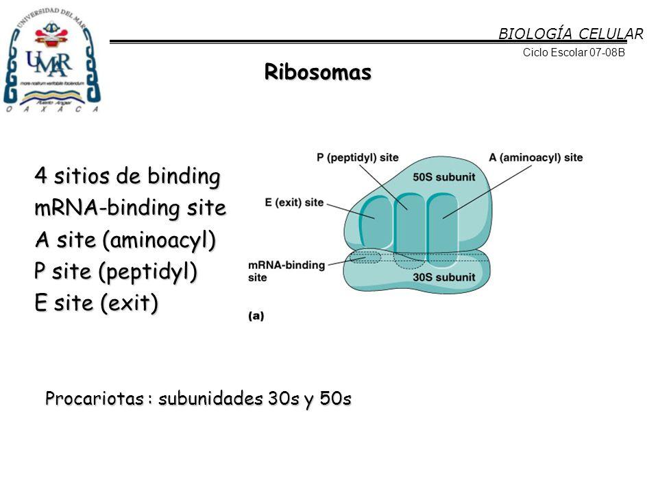 Ribosomas 4 sitios de binding mRNA-binding site A site (aminoacyl)