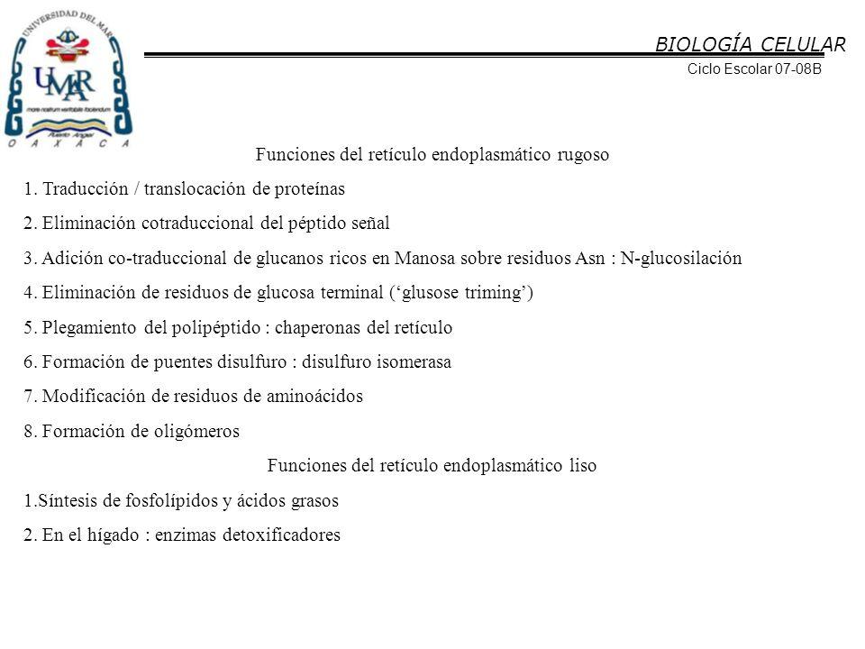 Funciones del retículo endoplasmático rugoso