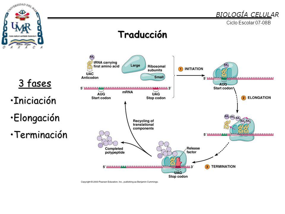 Traducción 3 fases Iniciación Elongación Terminación BIOLOGÍA CELULAR
