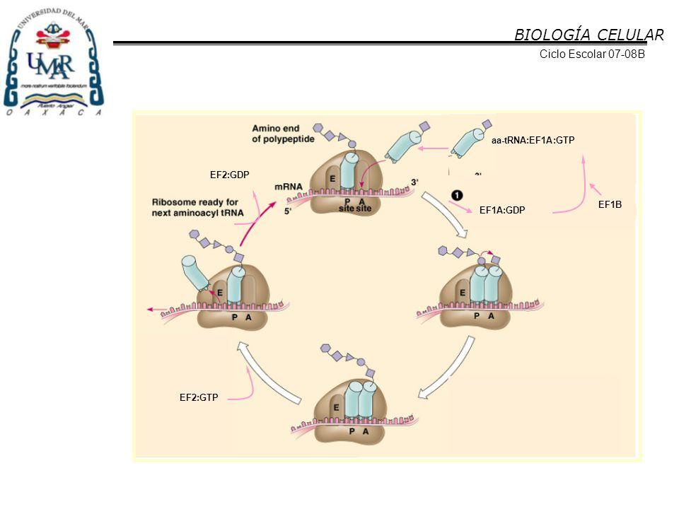 BIOLOGÍA CELULAR Ciclo Escolar 07-08B aa-tRNA:EF1A:GTP EF2:GDP EF1B