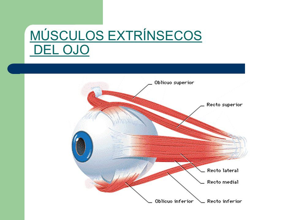 Perfecto Músculos Del Ojo Patrón - Imágenes de Anatomía Humana ...