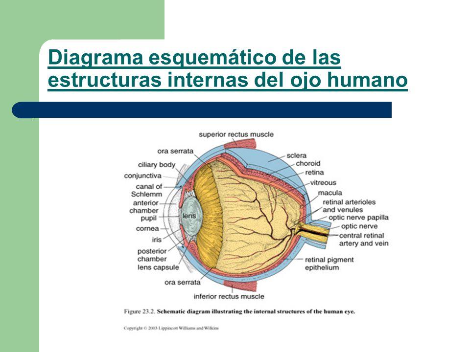 Fantástico El Diagrama De Ojo Humano Inspiración - Anatomía de Las ...