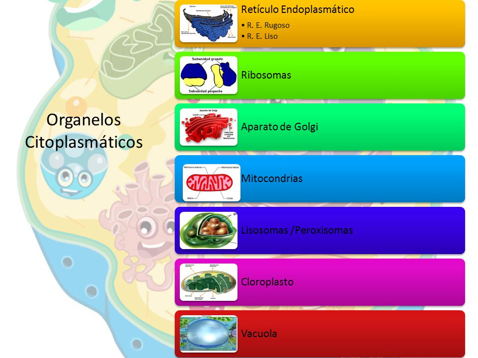 Organelos Citoplasmáticos