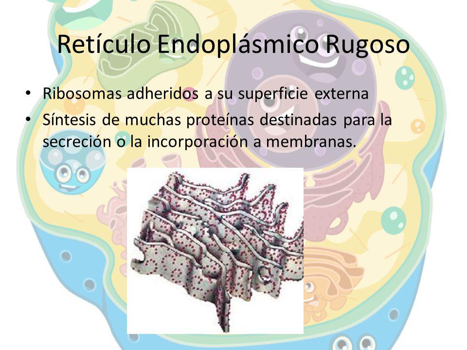 Retículo Endoplásmico Rugoso