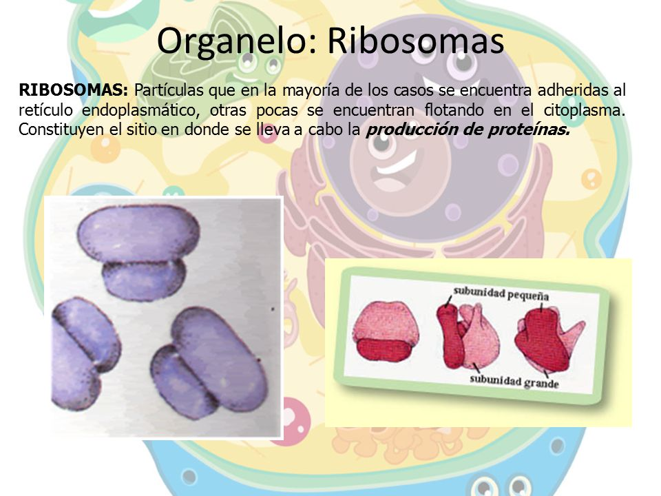 Organelo: Ribosomas