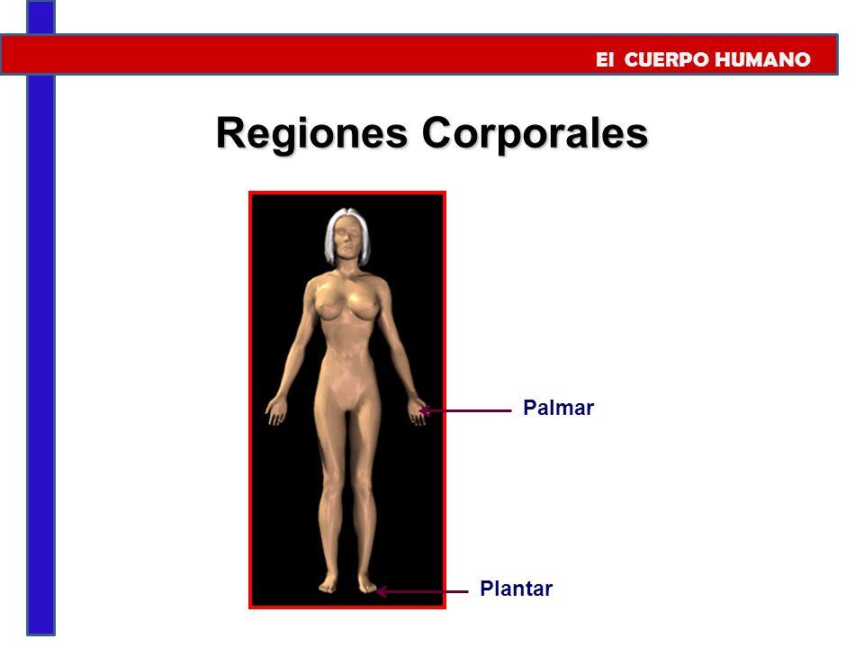 El CUERPO HUMANO Regiones Corporales Palmar Plantar