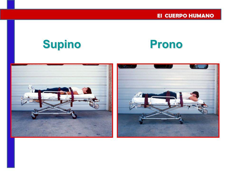 El CUERPO HUMANO Supino Prono